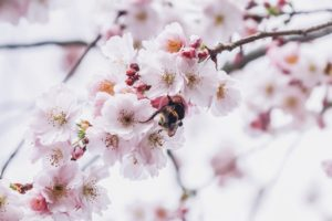 cherry blossoms, petals, hummel